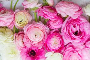 Обои Лютик Крупным планом Розовый Цветы картинки