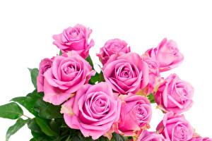 Фотографии Розы Крупным планом Розовый