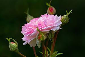Фото Розы Крупным планом Розовый Бутон