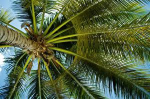 Фото Деревья Пальмы Ствол дерева Вид снизу Листва Природа