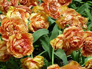 Фото Тюльпаны Вблизи Цветы