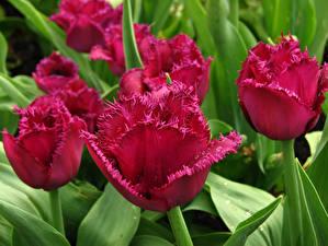 Картинки Тюльпаны Крупным планом Бордовый