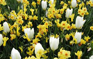 Фотография Тюльпаны Нарциссы Крупным планом Цветы
