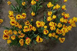 Обои Тюльпаны Сверху Желтый Цветы картинки