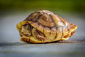 Обои Черепахи Вблизи