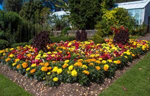 Обои Великобритания Сады Бархатцы Уэльс Swansea Botanic Gardens Природа