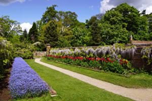 Фото Великобритания Вистерия Тюльпаны Газон Calke Abbey Природа