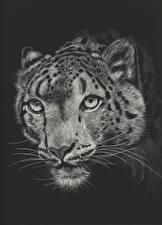 Картинка Большие кошки Ирбис Рисованные Голова Черный фон Усы Вибриссы Черно белое Морда животное