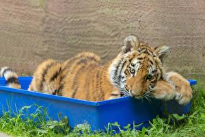 Фотография Большие кошки Тигры Детеныши Животные