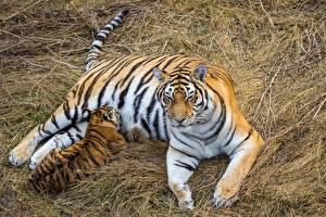 Фотографии Большие кошки Тигры Детеныши Сено 2 Животные