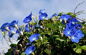 Фото Вьюнки Крупным планом Синий Цветы