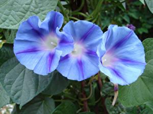 Фотография Вьюнки Вблизи Втроем Голубой Цветы
