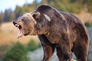 Картинка Медведи Гризли Злость