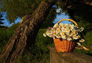 Фото Ромашки Ствол дерева Корзина Цветы