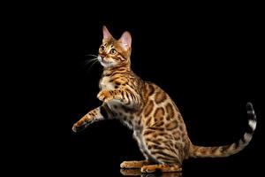 Фото Кошки Бенгальская кошка Черный фон Взгляд Gold Животные