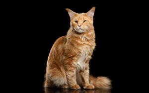 Фотографии Коты Мейн-кун Черный фон Животные