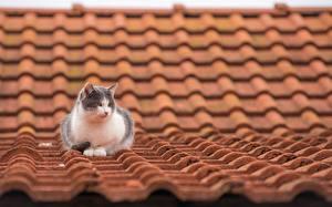 Обои Коты Крыша Животные