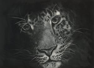 Картинки Вблизи Большие кошки Леопард Морда Смотрят Черно белое Черный фон Усы Вибриссы животное
