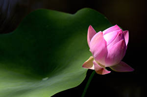 Фотография Вблизи Лотос Розовый Бутон цветок
