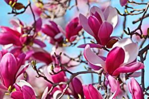 Картинка Вблизи Магнолия Ветки Цветы