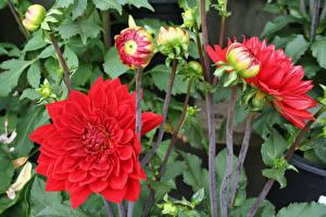Фото Георгины Красный Бутон Цветы