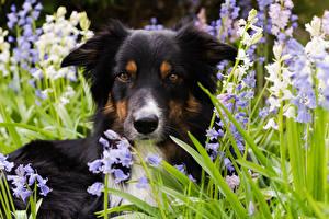 Обои Собаки Бордер-колли Морда Взгляд
