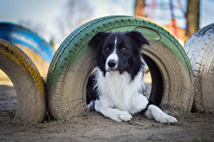 Фотографии Собаки Бордер-колли Покрышка Взгляд Животные