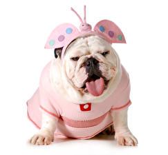 Фотографии Собаки Бабочки Белый фон Бульдог Униформа Язык (анатомия) Смешные Животные