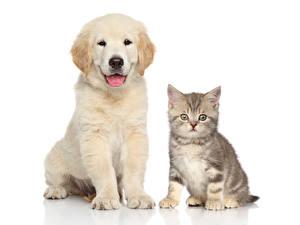 Фото Собака Кошки Белым фоном Котенок Щенок 2 Ретривера Животные