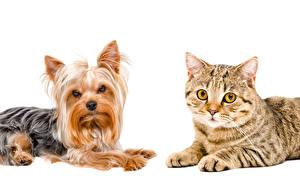 Фотографии Собака Кошки Белым фоном 2 Йоркширский терьер Животные