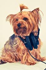 Обои Собака Цветной фон Йоркширский терьер Наушники