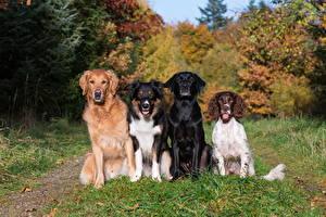 Картинки Собака Бордер-колли Ретривера Спаниеля Смотрит Лабрадор-ретривер