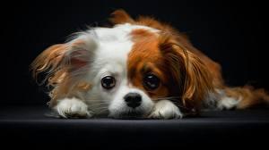 Фото Собаки Папильон Взгляд Щенок Животные