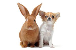 Фотография Собаки Кролики Белый фон Двое Чихуахуа Смотрит животное
