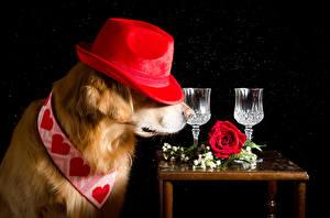 Фотография Собаки Розы Черный фон Ретривер Шляпа Сердце Рюмка Животные