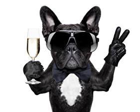 Картинка Собаки Вино Белый фон Бульдог Бокалы Очки Забавные Животные