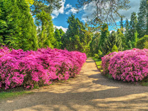 Фото Англия Парк Рододендрон Кусты Аллеи HDR Sheffield Park Природа