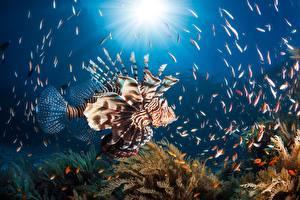 Фотографии Рыбы Подводный мир Крылатка животное