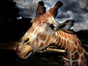 Фото Жираф Крупным планом Нос Голова Морды Животные
