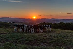Фотографии Луга Рассветы и закаты Корова Солнце Стадо Животные