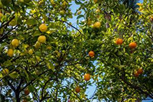 Фотографии Лимоны Мандарины Ветвь Листья Пища