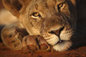 Обои Львица Львы Смотрит Нос Морда Животные