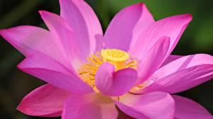 Обои Лотос Вблизи Макро Розовый Лепестки Цветы