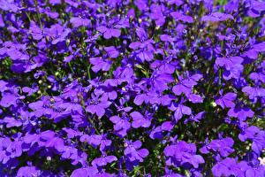 Картинки Много Вблизи Фиолетовый Lobelia Цветы