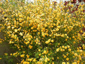 Фото Много Желтый Kerria Japonica Цветы