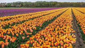 Фотография Нидерланды Поля Тюльпаны Много Цветы