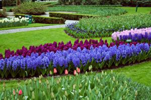 Фотографии Нидерланды Парки Гиацинты Тюльпаны Бутон Газон Keukenhof Природа Цветы
