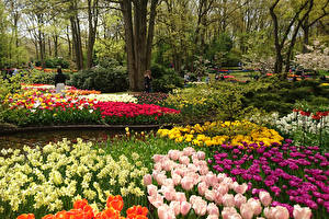 Фото Нидерланды Парки Тюльпаны Нарциссы Keukenhof Природа