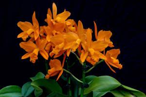 Фотографии Орхидеи Крупным планом Черный фон Оранжевый Цветы