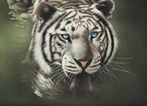 Картинка Рисованные Большие кошки Тигры Вода Язык (анатомия) Голова Взгляд Животные